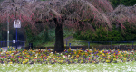 reigate one way cherry tree 23 march2013