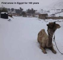 Camel, uncertain